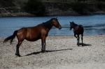 Côté Balabanesti, des chevaux parressent.